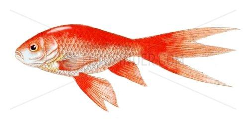 Serie Fische Goldkarpfen Koi Zierkarpfen Cyprinus carpio carpio