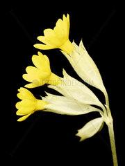 Schluesselblume