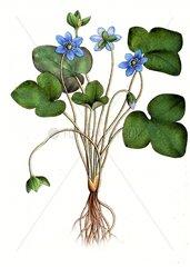 Leberbluemchen Hepatica nobilis Anemone hepatica