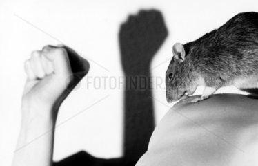 Ratte knabbert an Brustwarze