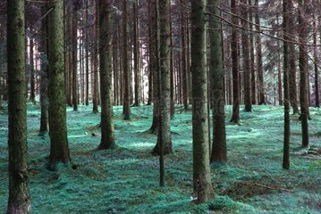 Wald mit Moos Maerchenwald