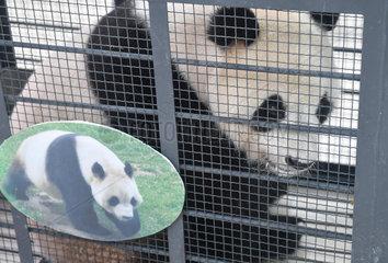 CHINA-CHANGCHUN-GIANT PANDAS-RETURN (CN)