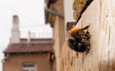 Mauerbiene beim Verschliessen der Brutzellen