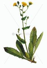 Habichtskraut Hieracium lachenali