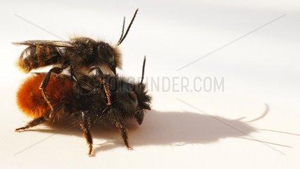 Mauerbiene Paarung
