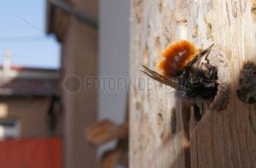 Mauerbiene verschliesst mit Moertel die Brutroehre