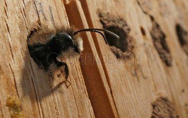 Schluepfende Mauerbiene