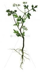 Hundspetersilie Aethusa cynapium Giftpflanze