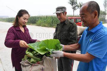 CHINA-HEBEI-BAIYANGDIAN-LOTUS LEAF TEA (CN)