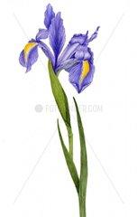 Sibirische Schwertlilie Iris sibirica Zierpflanze
