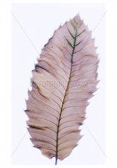 Blatt Lanzettform
