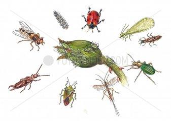 Natuerliche Feinde der Blattlaus