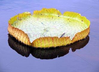 Seerose Blatt Libellen