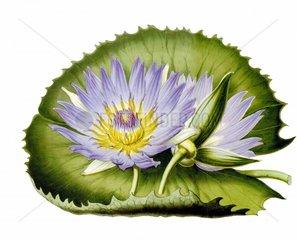 Seerose Nymphaea capensis Blaue Kapseerose
