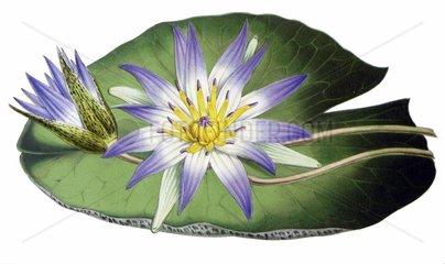 Seerose Nymphaea nouchali