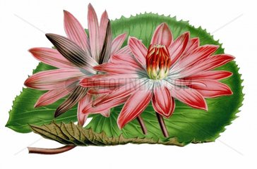 Seerose Nymphaea ortgiesii