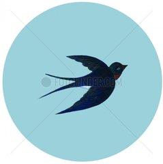 Schwalbe im Flug Vogel Voegel Vogelart 1