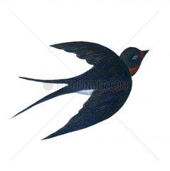 Schwalbe im Flug Vogel Voegel Vogelart 2