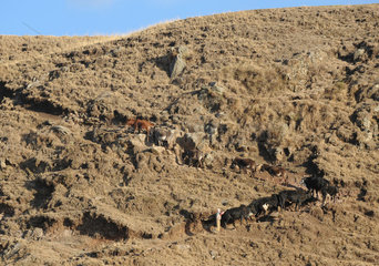 Mangudo  Aethiopien  Vieh wird ueber den Berg getrieben