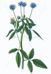 Schabzigerklee Trigonella caerulea Gewuerzpflanze