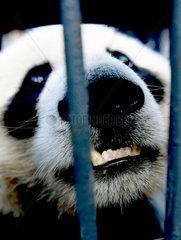 CHINA-CHANGCHUN-GIANT PANDAS-TRANSPORT (CN)