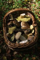 Tambach-Dietharz  Deutschland  ein Korb mit gesammelten Pilzen im Thueringer Wald
