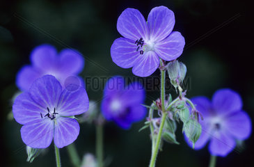 Wiesen-Storchschnabel wird meist durch Bienen und Schwebfliegen bestaeubt selten von Faltern / Meadow Cranesbill often pollinated from bees and hoverflies / Geranium pratense