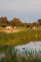 Penzlin  Deutschland  Kuehe auf einer Wiese in der Abendsonne
