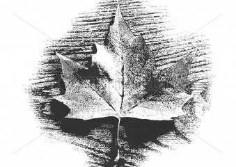 Ahornblatt maple leaf