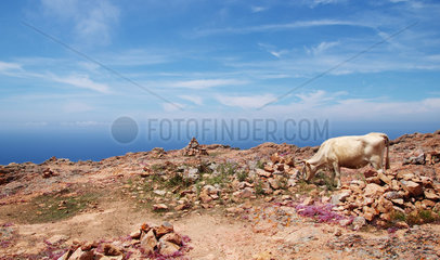 Freilebendes Rind auf dem Capu