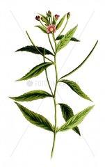 Kleinbluetiges Weidenroeschen Epilobium pubescens