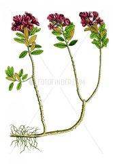 Roetlicher Alpenbalsam Erinus alpinus