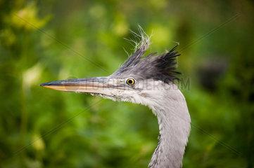 Ardea cinerea The grey heron head portrait