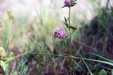 Wildbiene bestaeubt 1
