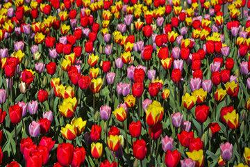 Farbvariationen hollaendischer Tulpen  Lisse  Bollenstreek  Niederlande