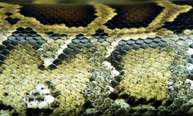 Thailand Haut einer Python