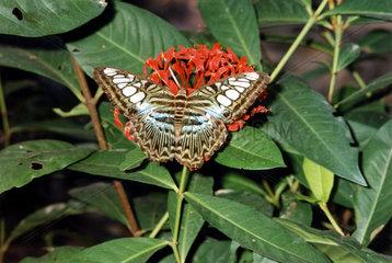 T-Koh Samui  Schmetterling