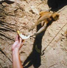 Thailand Koh Samui Affe isst Banane