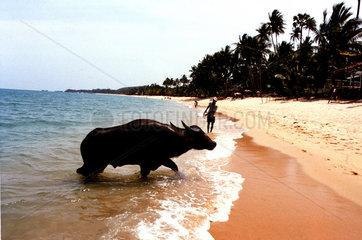 Thailand Wasserbueffel am Strand