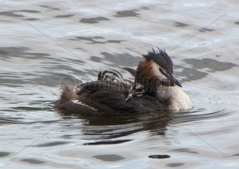 great crestet grebe chicken on back  podiceps cristatus