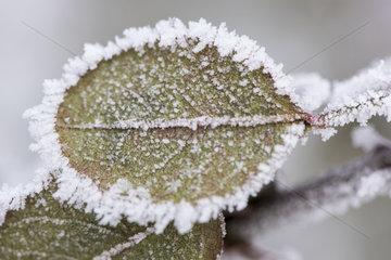 Raureif an Pflanzen in Eiskaelte