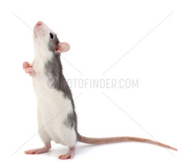Cute little decorative rat standing on the back of the paws.