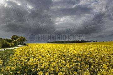 Bluehendes Rapsfeld vor dunklen Gewitterwolken  Schleswig Holstein  Deutschland  Germany