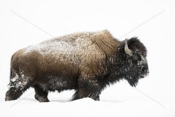 beeindruckende Tiere... Amerikanischer Bison *Bison bison*