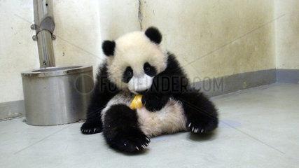 #CHINA-TAIPEI-GIANT PANDA-CUB (CN)