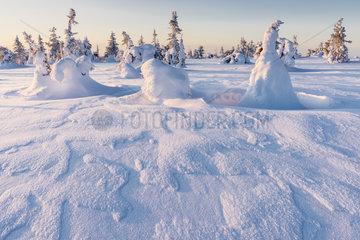 verschneite Fichten  Riisitunturi Nationalpark  Lappland