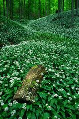 Baerlauch im Laubwald  Allium ursinum
