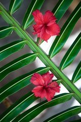 Beautiful red hibiscus flowers on green palm leaf