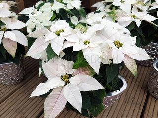 Weihnachsstern  Euphorbia pulcherrim  Princettia