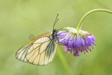 Baum Weissling  Aporia crataegi  Black veined White butterfly